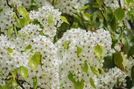 Beautiful Callery pear white flower blossom at Hacienda Heights, Los Angeles County, California Stock Photo
