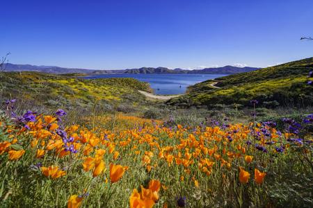 Beaucoup de fleurs sauvages fleurissent à Diamond Valley Lake, Californie Banque d'images