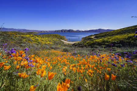 Muchas flores silvestres florecen en Diamond Valley Lake, California Foto de archivo