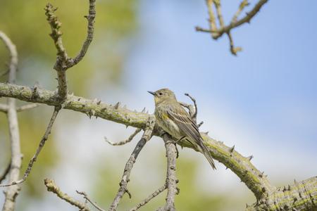 Northern Mockingbird sitting on a brunch of silk floss tree at Los Angeles, California