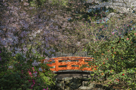 Beautiful cherry blossom at Japanese Garden of Descanso Garden, Los Angeles, California Stock Photo