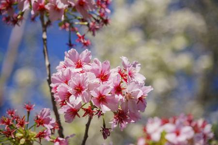 Super cherry blossom at Peter F. Schabarum Regional Park, Hacienda Heights, California