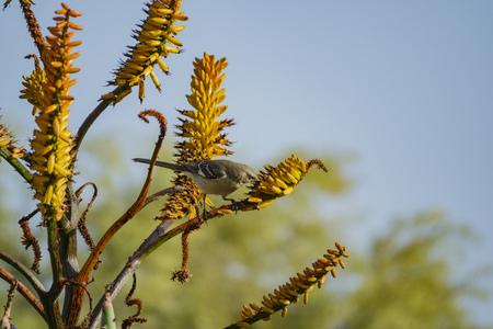 Northern Mockingbird eating in a bloom aloe at Los Angeles, California
