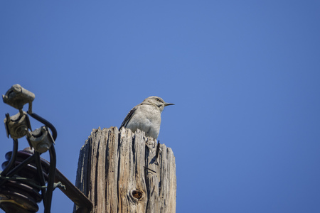 Northern Mockingbird sitting on an electricity pole at Los Angeles, California