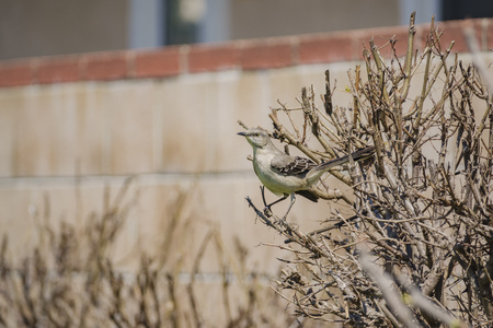 Northern Mockingbird sitting on a branch at Los Angeles, California