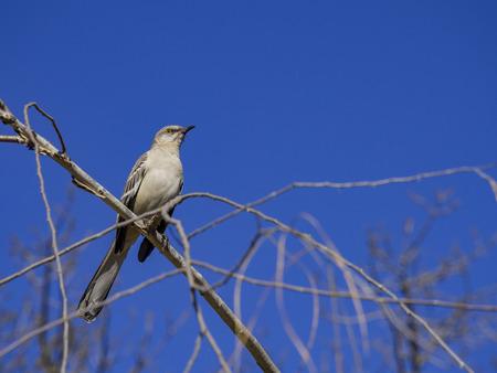 Northern Mockingbird sitting on a brunch at Los Angeles, California