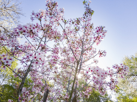 Super cherry blossom at Peter F. Schabarum Regional Park, Hacienda Heights, California 免版税图像