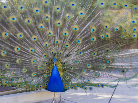 Male peacock showing it's color fan at Los Angeles, California