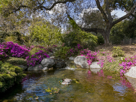 Two ducks swimming in the beautiful Japanese Garden of Huntington Library at Los Angeles, California
