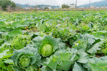 Mature organic cabbage farm in a cloudy day at Tongluo Township, Miaoli, Taiwan