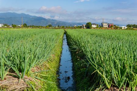Many health green onions growing in the farm at Yilan, Taiwan 版權商用圖片