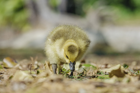 Canada Goose baby seeking food
