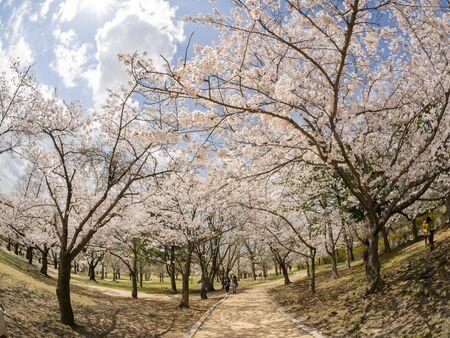 Schöne Kirschbaumblüte um den berühmten Bulguksa-Tempel in Busan, Südkorea Standard-Bild