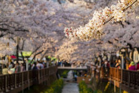 Cherry tree blossom and Jinhae Gunhangje Festival at Busan, South Korea