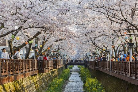 Busan, APR 3: Cherry tree blossom and Jinhae Gunhangje Festival on APR 3, 2014 at Busan, South Korea