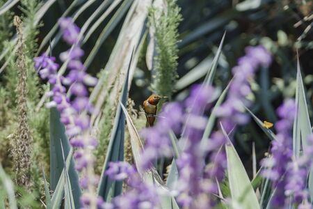 Magnificent hummingbird resting along the Salvia officinalis flowers, Los Angeles