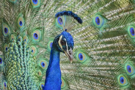 Male mature peacock showing it's fan at Los Angeles, California