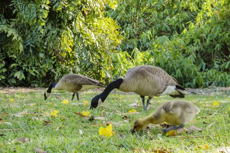 Canada Goose and it's baby walking around in a public park at Los Angeles