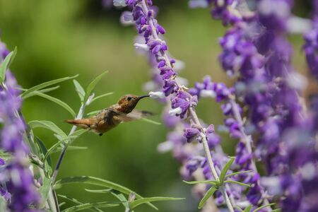 Magnificent hummingbird eating along the Salvia officinalis flowers, Los Angeles Stock fotó