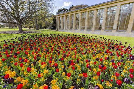 Many tulips blossom in the Kew Garden at Richmond, United Kingdom