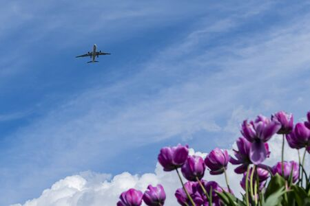 Airplane flying with a beautiful background with tulips blossom at Richmond, United Kingdom