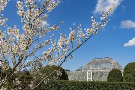 The beautiful Palm House with white cherry tree blossom of the Kew Garden at Richmond, United Kingdom