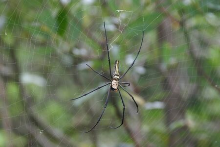 Close up shot of the Nephila spider and it's web at Keelung, Taiwan