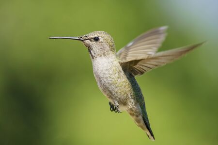 Female Anna's Hummingbird hover in air, saw at Los Angeles, California, United States