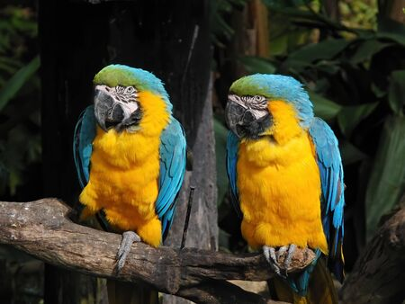 Close up shot of the cute Blue-and-yellow macaw at Hsinchu, Taiwan