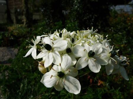 Close up shot of Ornithogalum arabicum blossom at Nantou, Taiwan