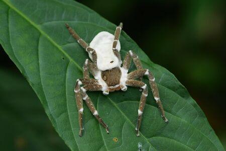 Close up shot of a Huntsman spiders at Yilan, Taiwan Stock Photo
