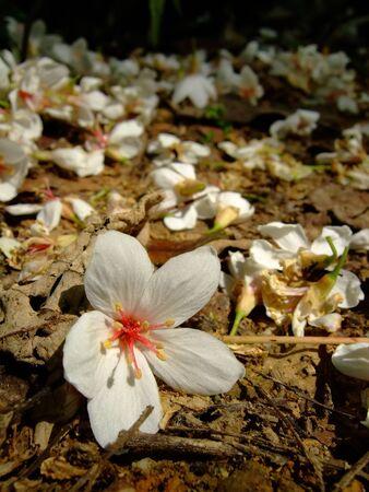 Vernicia fordii blossom in Tucheng area at New Taipei City, Taiwan Banco de Imagens