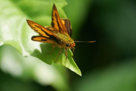 Close up shot of a Fiery Skipper butterfly at Taipei, Taiwan