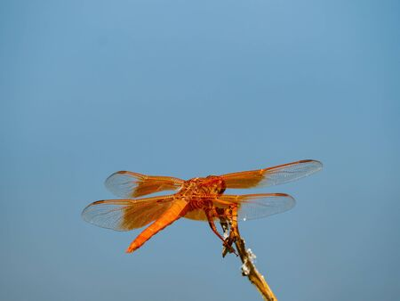 Close up shot of a Flame skimmer at Henderson, Nevada