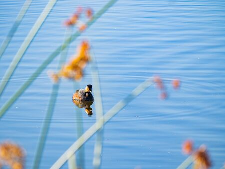 Close up shot of a Black-necked grebe swimming in a pond at Henderson, Nevada