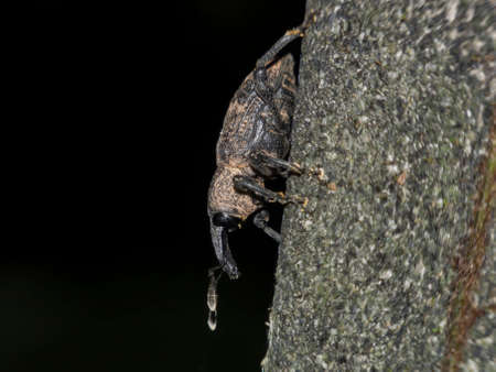 Close up shot of little cute Weevil at Taipei, Taiwan