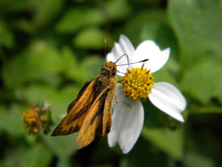 Close up shot of a Fiery skipper butterfly on a flower at Taipei, Taiwan