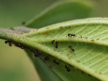 Close up shot of many ants and Aphids in Queens Town at Taipei, Taiwan