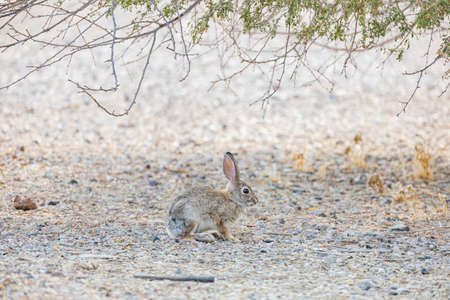 Close up of cute Cottontail rabbit at Henderson Bird Viewing Preserve, Nevada