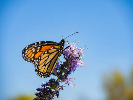 Close up shot of the beautiful monarch butterfly at Las Vegas, Nevada