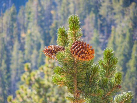 Close up shot of some fresh pine cone hanging on the tree at Nevada Zdjęcie Seryjne