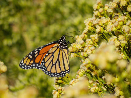 Close up shot of the beautiful monarch butterfly at Las Vegas, Nevada Zdjęcie Seryjne