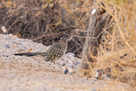 Close up shot of cute Roadrunner on the ground at Las Vegas, Nevada Stock Photo