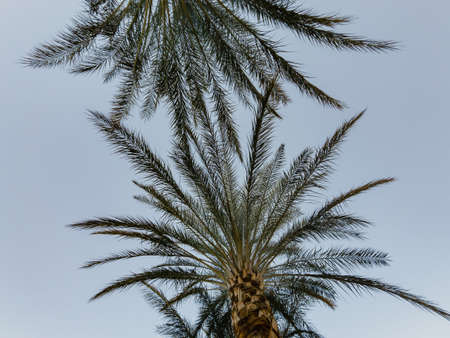 Looking up the palm tree in Lake Las Vegas area at Nevada