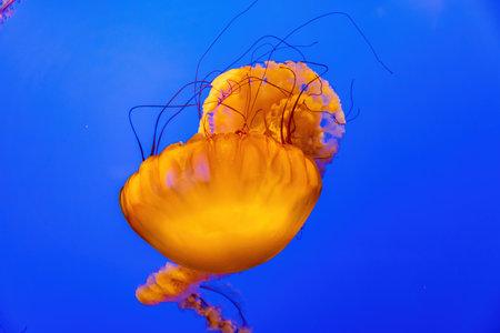 Close up shot of beautiful Chrysaora quinquecirrha swimming at San Francisco Zdjęcie Seryjne