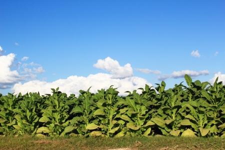 Tobacco fields Stock Photo