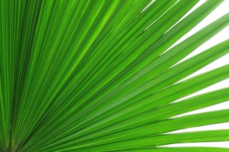 Sugar palm leaf Stock Photo
