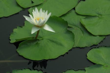 White Lotus in Thailand.