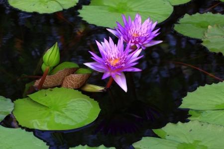 Purple Lotus in Thailand.