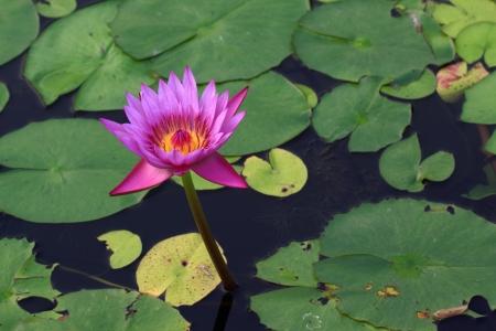 Lotus in Thailand.